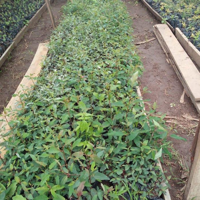 Tree seedlings in tree nursery-Reforestation Module-Innov8 Africa