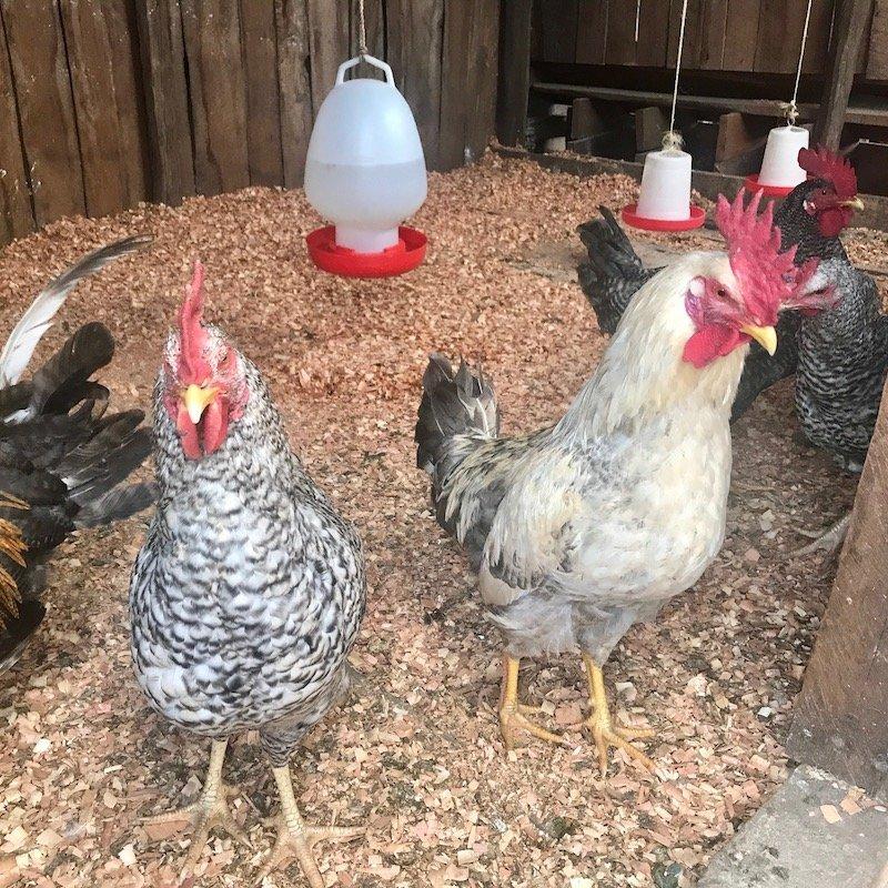 Chickens Poultry Farming Program -Innov8 Africa